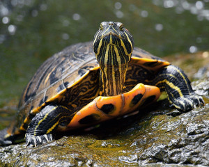 "Red-eared slider. Photo source: ""RED EAR SLIDER"" by Dagmar Collins on Flickr, shared via Creative Commons"