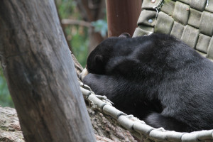 The Malayan sun bear rests in the shade, ignoring the crowds.