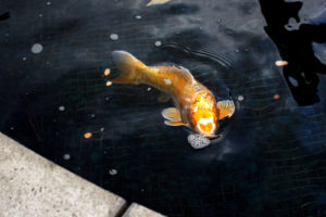 Kois, also known as fancy carps are raised in the pond at the middle of the plaza. Kois are known as the symbol of good luck in China. Photo by Tian Chenwei.